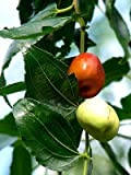 Ziziphus mauritiana FRUIT TREE Seeds!
