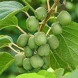 hot 100pcs/bag Heirloom Cocktail Miniature Kiwi Kiwiberry Berry Hardy Actinidia Arguta Fruit Seeds