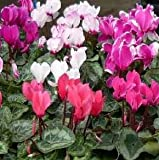 Live Potted Plant Cyclamen Persicum Mixed Colors Hardy in Zones 4-10, Nice size Plant