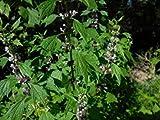 Plentree Seeds Package: Cardiaca (erwort) Seed