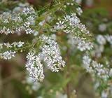 Aster lateriflorus Calico 2,000 seeds