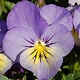 Heirloom 300 Flower Seeds Viola Tricolor F1 Johnny Jump up Blueberry Cream Garden Flower S9120