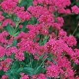 Outsidepride Silene Armeria - 5000 Seeds