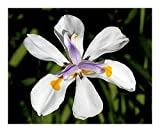 Dietes iridioides - Cape Iris - 25 seeds