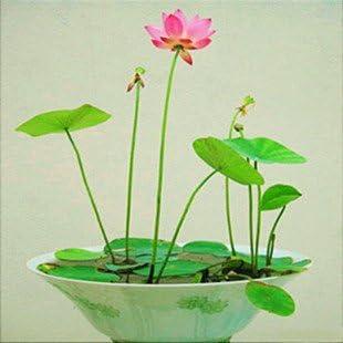 Creative Farmer Lotus Flower Seeds