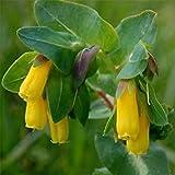 Plentree Seeds Package: Honeywort Cerinthe Seeds Garden Seeds