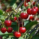 Heirloom 25 Seeds Cherry Tree Shrub Seeds Prunus Cerasus Cherry-tree Edible Fruit Seeds T007
