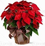 Brand New! 100 pcs Poinsettia Seeds, Euphorbia Pulcherrima,potted Plants, rare Flowering Plants seeds for hjome decoration