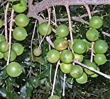 "3 Large Seeds of 1A365 Macadamia Nut ""Beaumont"" ( Macadamia Integrifolia X M. Tetraphylla )"