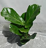 Jmbamboo - Ficus Lyrata Plant in 6 Inch Pot - Also Called Fiddle Leaf Fig or Pandurata