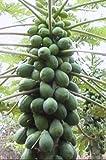Papaya (Solo Hawaiian) Tropical Fruit Tree