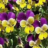 Viola Johnny Jump Up Flower Seeds (Viola Tricolor) 400+Seeds