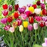 20 Landscape Mixture Tulip Bulbs - Tulipa Triumph