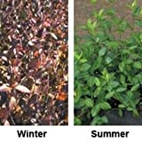 "(18 Plant Flat in 3.5"" Pots) Euonymus Fortunei 'Coloratus' Purple Wintercreeper, Glossy Green Spreading Foliage That Turns Purple in Winter"