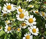FEVERFEW MATRICARIA Tanacetum Parthenium - 500 Flower Seeds