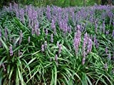 "(18 Count Flat-3.5"" Pots) Liriope Muscari 'Big Blue' Monkey Grass/lilyturf (Groundcover) the Most Well Known Variety of Liriope, Deep Green Foliage, Lilac Flower Spikes, Moderate Spreader."
