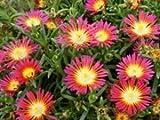 "(10 Count Flat - 4.5"" Pots), Iceplant, Delosperma Nubigena Wheels of Wonder 'Hot Pink Wonder'"