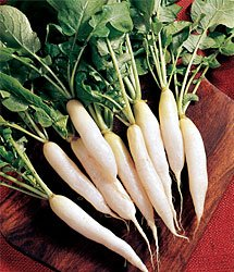 Radish White Icicle Great Heirloom Vegetable by Seed Kingdom Bulk 12,000 Seeds