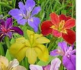 (3) Spectacular Flowering Mixed Colors Louisiana Iris Rhizomes/Root/Plant