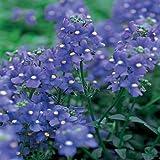 Outsidepride Nemesia Blue Gem - 5000 Seeds