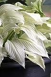White Feather Hosta - UNBELIEVABLE/RARE/NEW - Bareroot