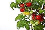 RDR Seeds 50 Tiny Tim Tomato Seeds - Patio Tomato, Dwarf Heirloom, Cherry Tomato