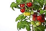 RDR Seeds 50 Tiny Tim Tomato Seeds - Patio Tomato, Dwarf Heirloom, Cherry Tomato