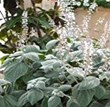 Plectranthus - Silver Shield - 5 Seeds