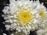 White Chrysanthemum Flower Seeds 50 Stratisfied Seeds