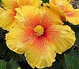 Rare Live Plant Exotic Hibiscus 'Tiki Bar' + Free Plant Cutting! Tropical Hibiscus Rosa Sinensis - Cutting