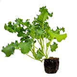 6 Pack of Organic Kale Plants | Ready-to-Plant | Plantables