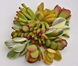 Succulent Crassula Ovata Jade Plant Collection 5 Varieties with 2 Cuttings Each Succulent Rare MHWK34