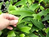 3 Baby Staghorn Fern Plants by The Orchid Gallery