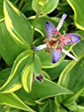 Tricyrtis formosana Samaurai Variegated Toad Lily - Hardy Perennial - 1 Plant!