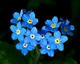 "Blue Forget Me Not ""Myosotis Sylvatica"" 400 Seeds"