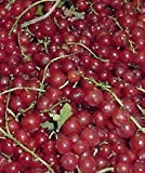 Perfection Red Currant fruit shrub berry seedling fruiting small tree LIVE PLANT