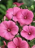 Lavatera trimestris Hot Lips 250 seeds