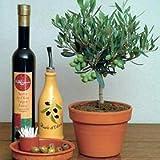 Olive Tree 25 Seeds - Olea europaea - Great Houseplant