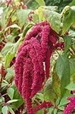 500 LOVE LIES BLEEDING AMARANTHUS Caudatus (Kiss Me Over The Garden Gate) Flower Seeds