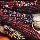 Corn Indian Ornamental Great Heirloom Vegetable by Seed Kingdom 20 Seeds