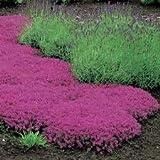 Creeping Thyme Thymus Serpyllum Magic Carpet Rose Walk on Me Plant, 25 seeds