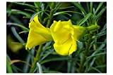 Thevetia Peruviana 5 RARE seeds Lucky Nut Yellow Oleander Small Tropical Shrub Brilliant Yellow Flowers Ornamental Container Gardening