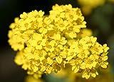 Plentree Seeds Package: () Seeds - Aurinia Saxatilis