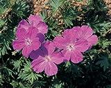 Geranium sanguineum Vision Violet 1,000 seeds