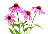 100 Echinacea Purpurea Seeds - Purple Coneflower