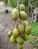1 Starter Plant of Ambarella Tree - 2 Gallon