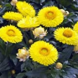 Outsidepride Helichrysum Yellow - 5000 Seeds