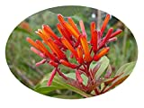 Scarlet FIREBUSH Live Plant Shrub Hamelia Patens Florida Native Orange Red Flowers Attract Hummingbirds Starter Size 4 Inch Pot Emerald TM