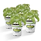 Bonnie Plants Sweet Basil (Genovese) Live Herb Plants - 4 Pack | Warm Season Annual | Italian & Asian Dishes