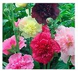 David's Garden Seeds Flower Hollyhock Majorette Double Mix SL9541 (Multi) 200 Non-GMO, Open Pollinated Seeds